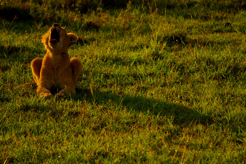 Lion cub yawning at Maasai Mara National Reserve in Kenya