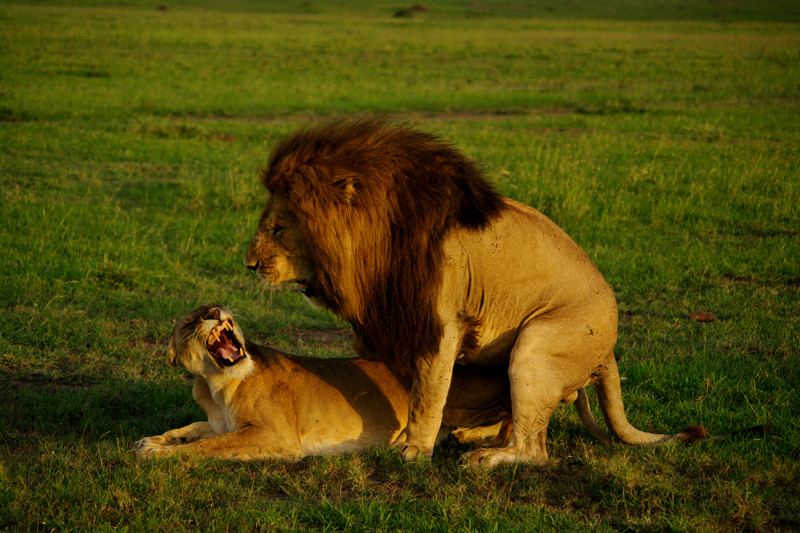 Two lions in the throes of orgasm at Maasai Mara National Reserve