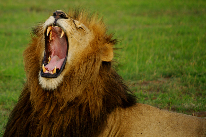 Lion yawning at Maasai Mara National Reserve in Kenya