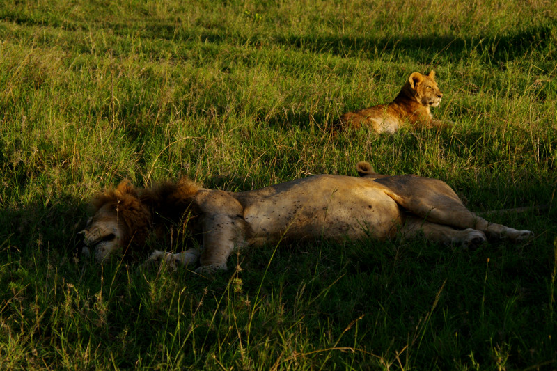 maasai mara kenya sleeping male lion and cub