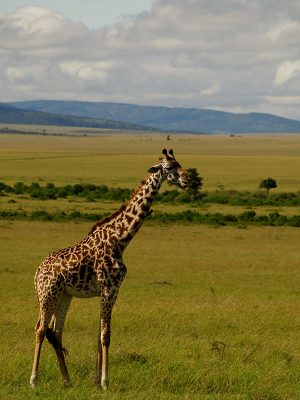 A giraffe that looks like Sophie, the French teething toy, at Maasai Mara National Reserve in Kenya