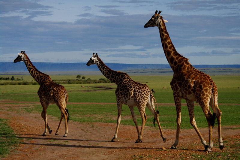 Three giraffes at Maasai Mara National Reserve in Kenya