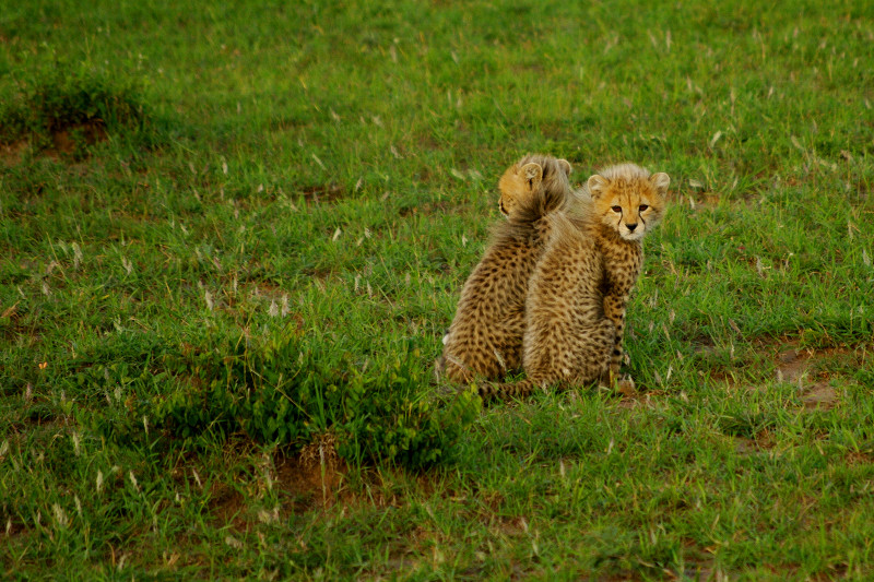 Two cheetah cubs at Maasai Mara National Reserve in Kenya
