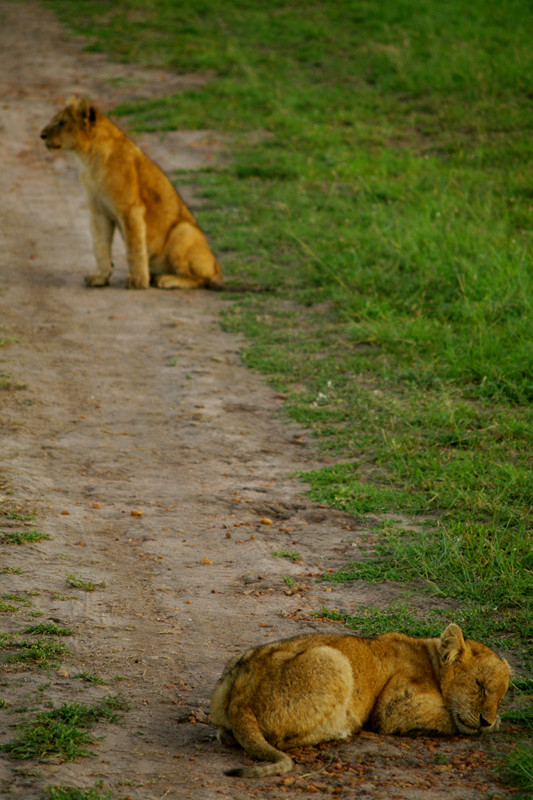 Two lion cubs on the track at Maasai Mara National Reserve in Kenya