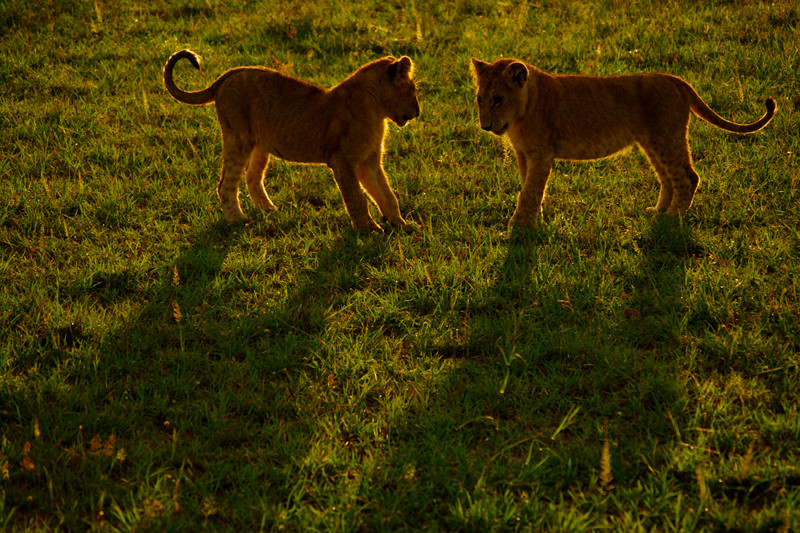 Two lion cubs playing at Maasai Mara National Reserve in Kenya