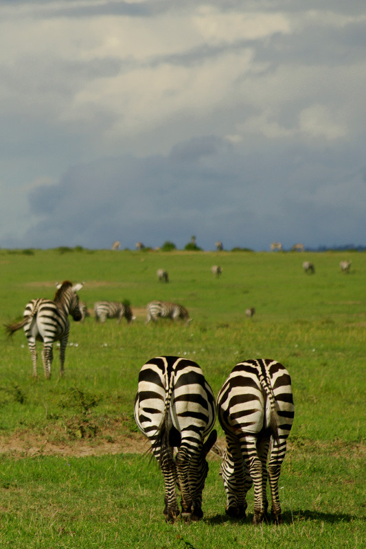 Two zebra butts at Maasai Mara National Reserve in Kenya