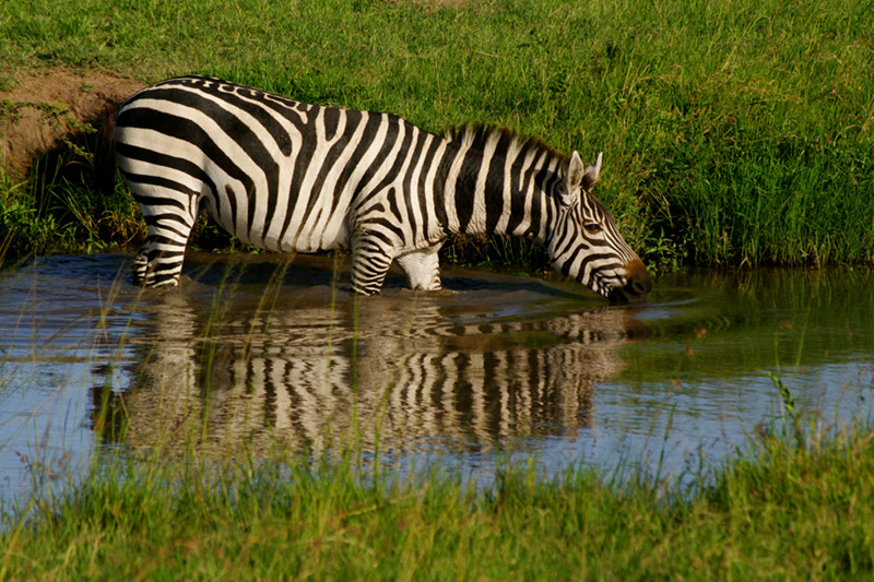 A zebra drinking at Maasai Mara National Reserve in Kenya