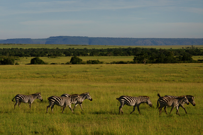 A line of zebras at Maasai Mara National Reserve in Kenya