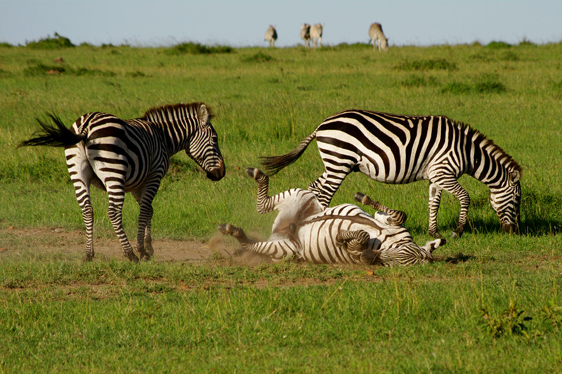 A zebra rolling in dirt at Maasai Mara National Reserve in Kenya