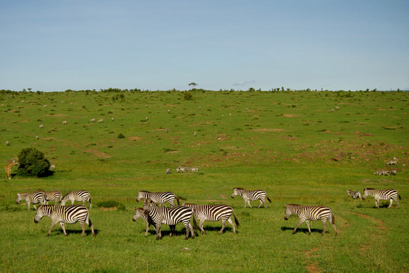 Zebras scattered across the landscape at Maasai Mara National Reserve in Kenya