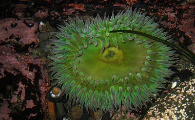 Sea anemone in a tidal pool at MacKerricher State Park