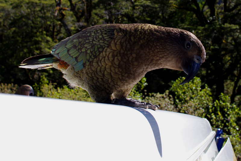 A curious kea, the alpine parrot, on top of our van