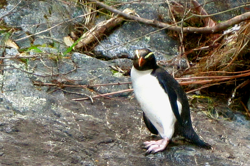 Fiordland Crested Penguin in Milford Sound