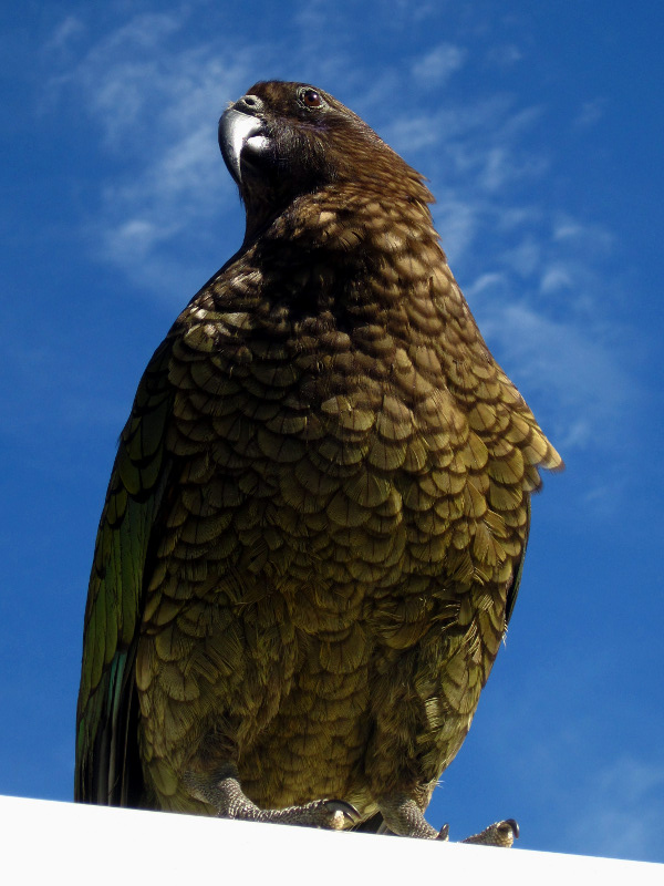 A curious kea, looking regal, on top of our van