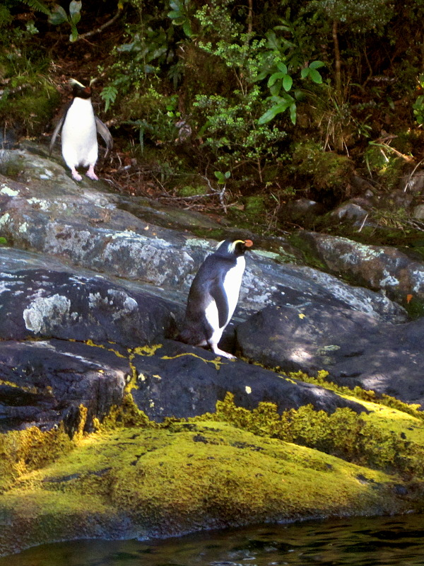 Two Fiordland Crested Penguins in Milford Sound