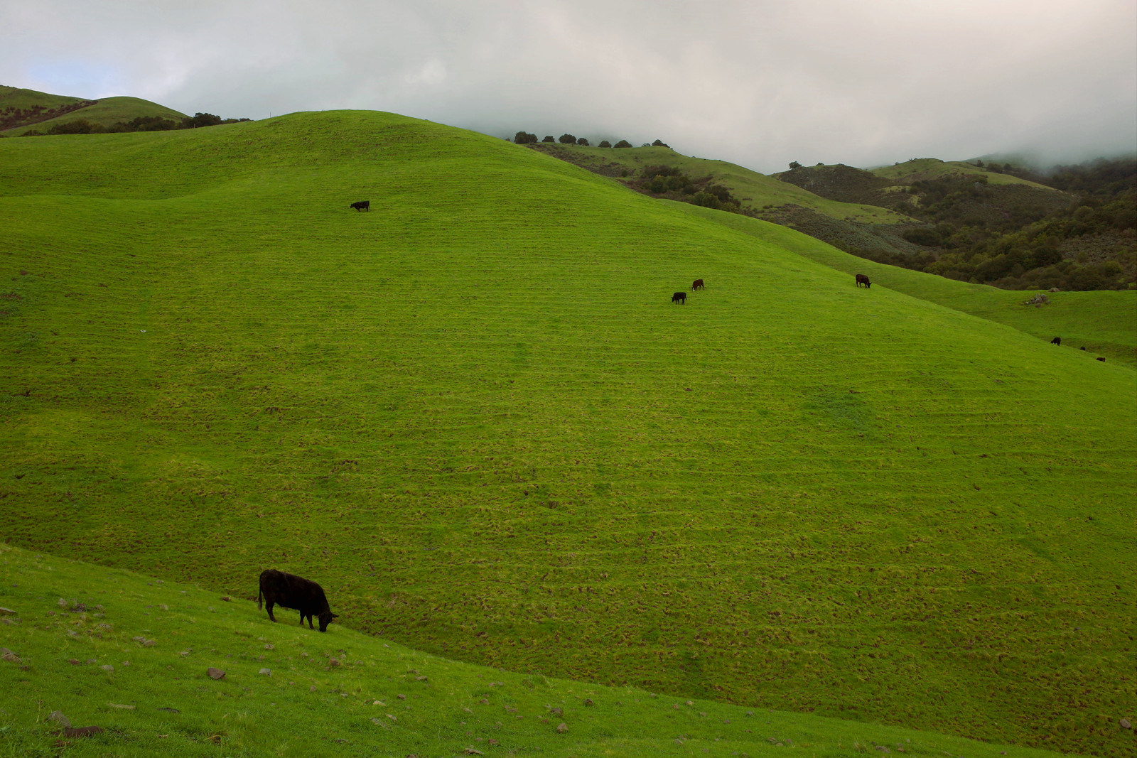 Cows on the Mission Peak hillside