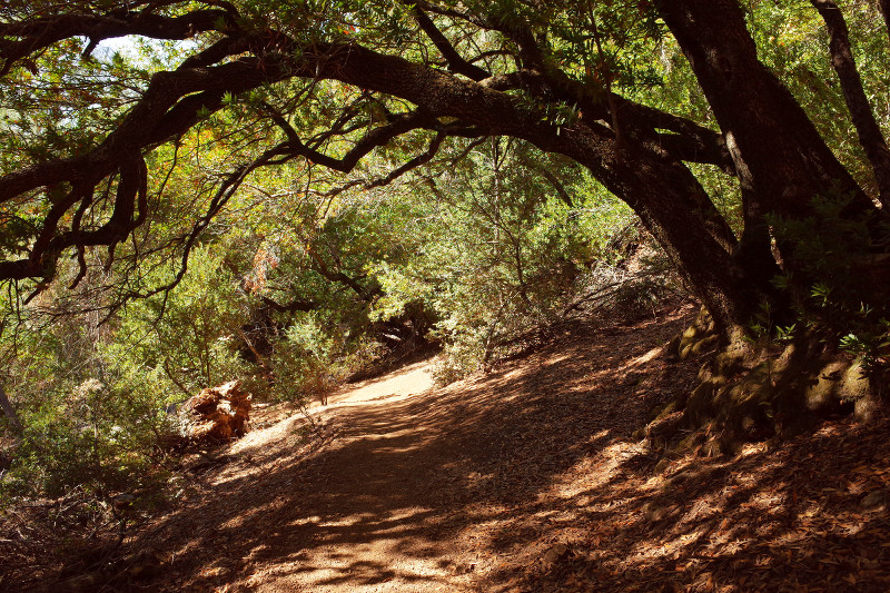A tree arching over the trail on Mt Diablo