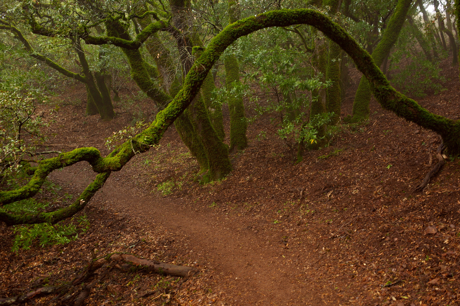 Tree arch over trail in Mount Diablo