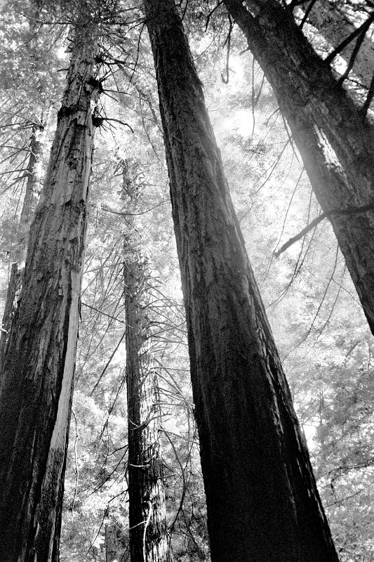 Looking up at the redwoods at Muir Woods