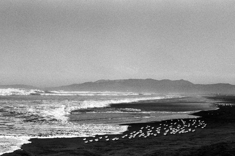 Snowy plovers at Ocean Beach, San Francisco, CA (black and white)