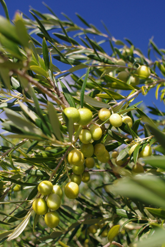 California-grown arbequina olives on the branch