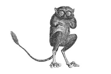 image of a tarsier