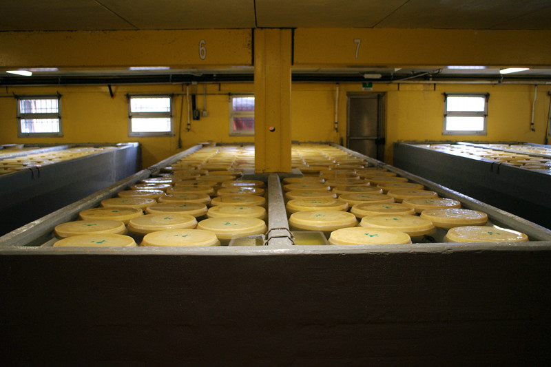 Parmigiano-Reggiano cheese wheels floating in the brining tanks