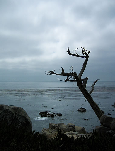 The Pebble Beach Ghost Tree, a dead monterey cypress