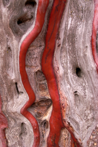 Red streaks in manzanita bark