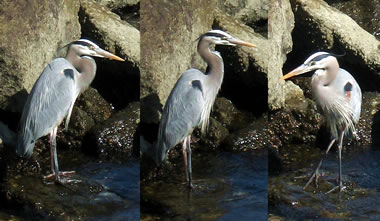 Great Blue Heron in Whalers Cove at Point Lobos State Reserve
