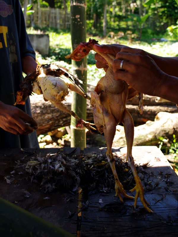 Plucking the the recently-dispatched chickens for binakol na manok