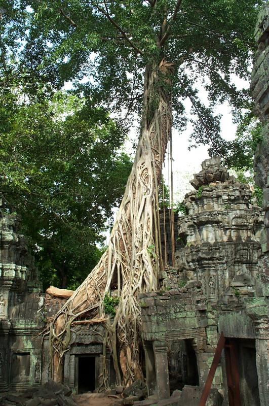 Dead spung tree with a strangler fig (or banyan) tree growing around it at Ta Prohm