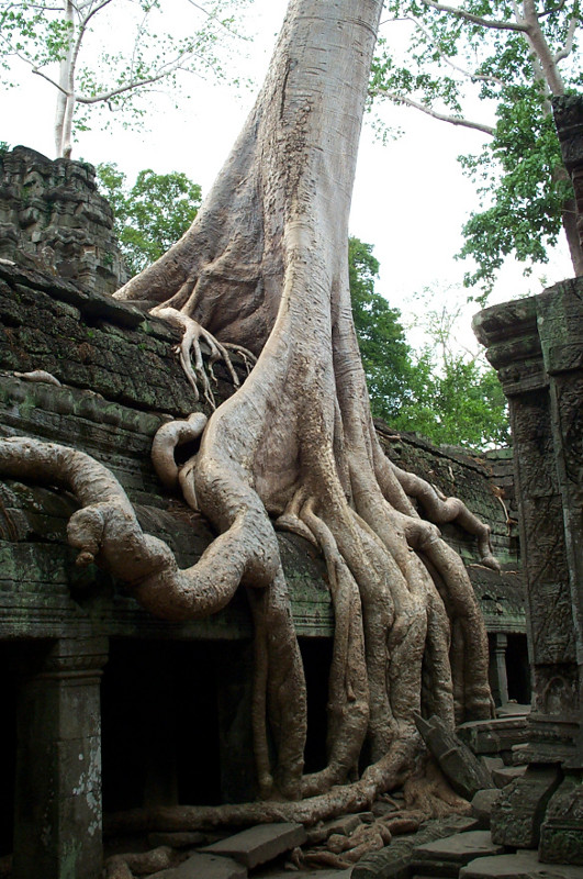 The spung roots growing on Ta Prohm seem amazingly adaptive and organic