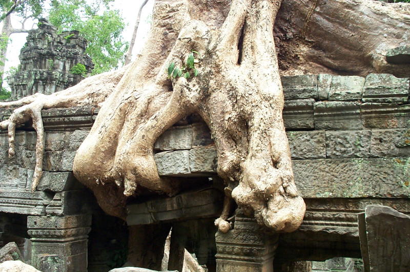 The knuckles of the spung roots securing the tree to the roof of Ta Prohm