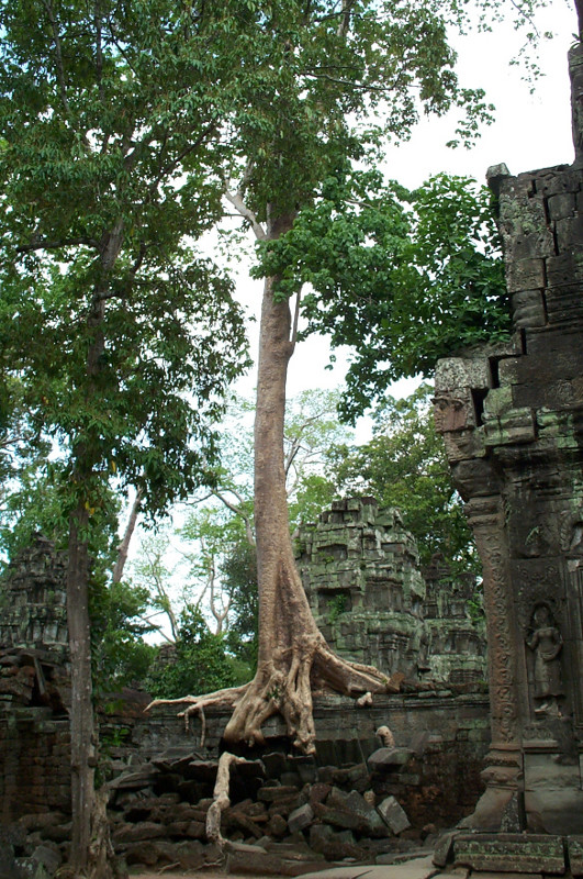 Spung tree growing on the roof of Ta Prohm