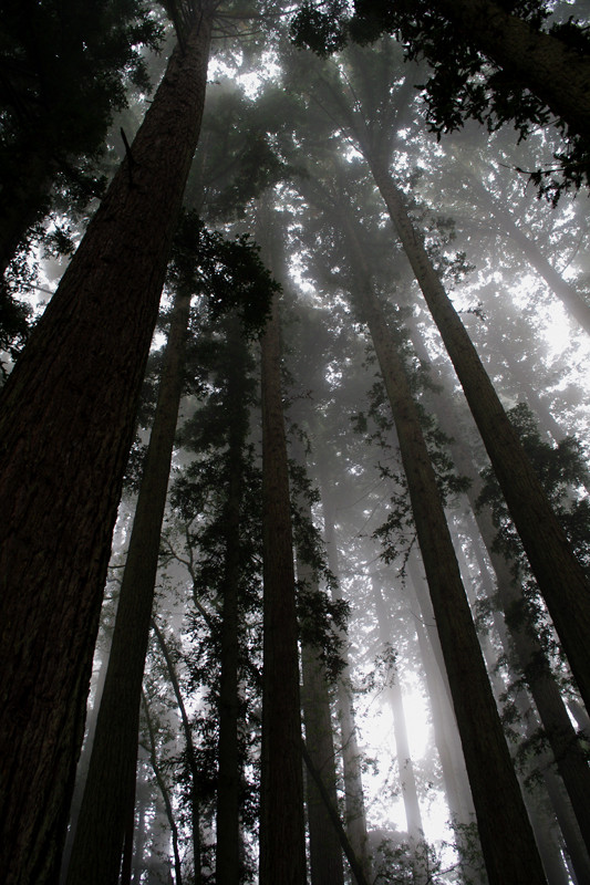 Foggy sequoias along the Pomo Canyon trail in Sonoma Coast State Park