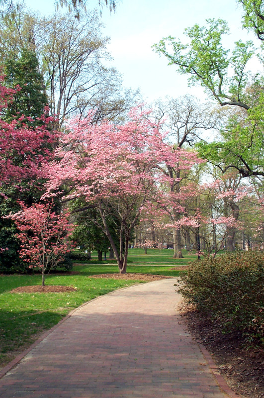 Spring on the campus of UNC in Chapel Hill, North Carolina