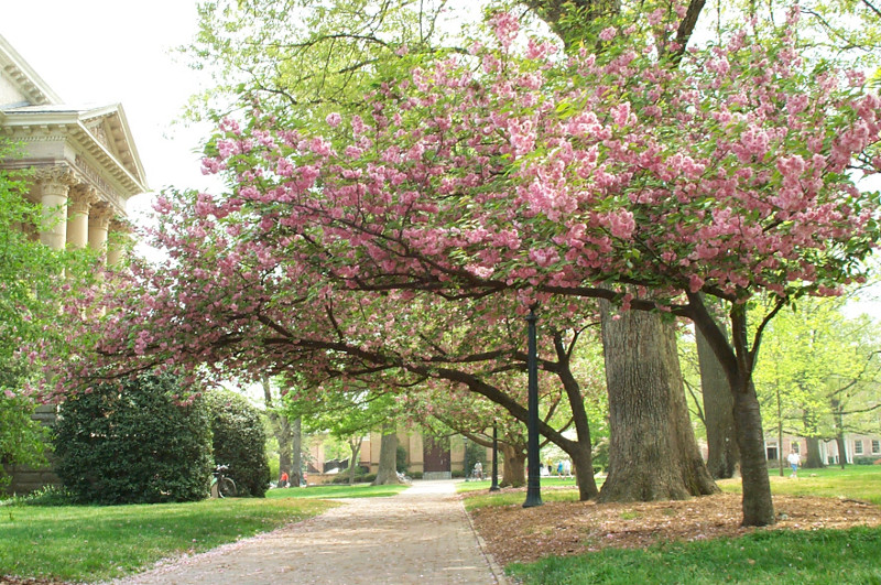Pink flowering tree on the campus of UNC in Chapel Hill, North Carolina