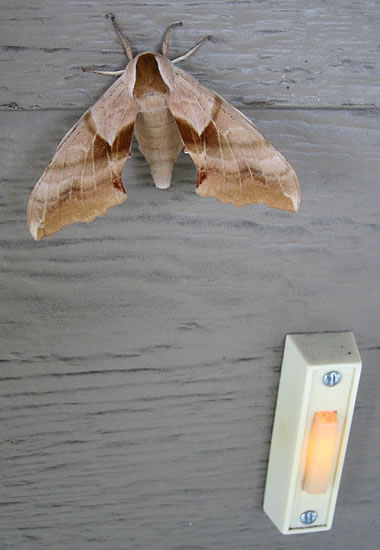 Super giant moth