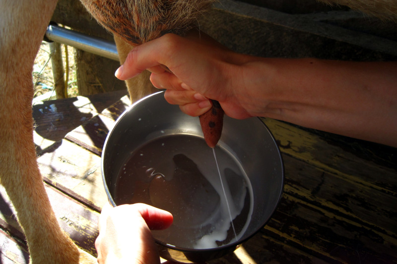 Milking the teat of a goat on a farm in Upper Moutere, New Zealand