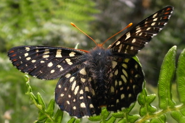Variable Checkerspot butterfly (Euphydryas chalcedona chalcedona)