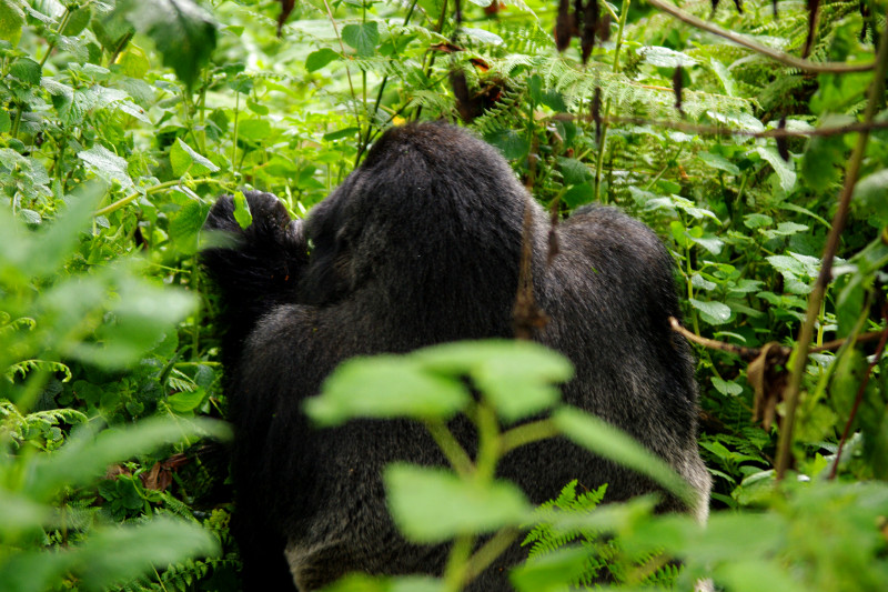 Silverback at Volcanoes National Park (Parc National des Volcans) in Rwanda