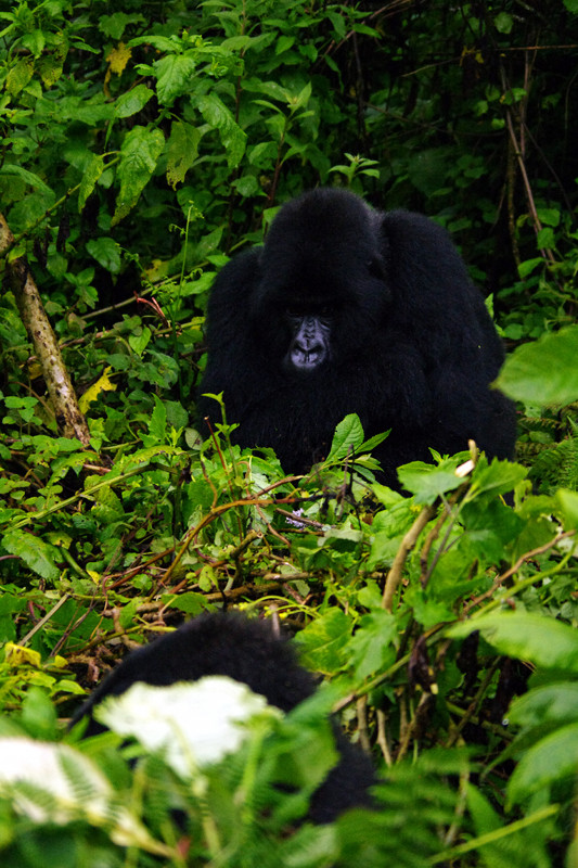 Blackback and female at Volcanoes National Park (Parc National des Volcans) in Rwanda