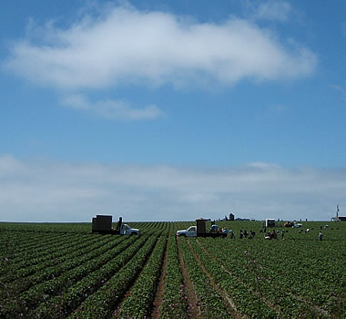 Strawberries being picked in Watsonville, CA