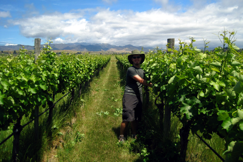 Justin shoot thinning as part of our WWOOFing on a vineyard in the Marlborough region of New Zealand
