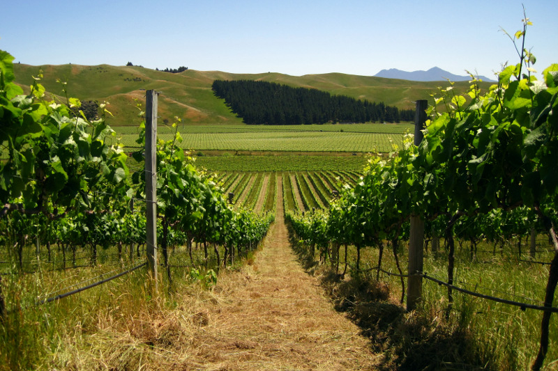 Nice view of mowed row between vines on a vineyard in the Marlborough region of New Zealand