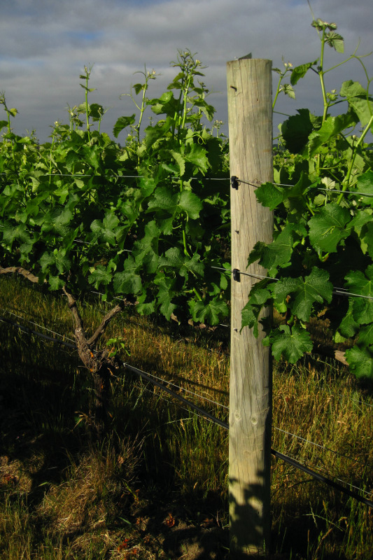 How a post looks after wire lifting on a vineyard in the Marlborough region of New Zealand