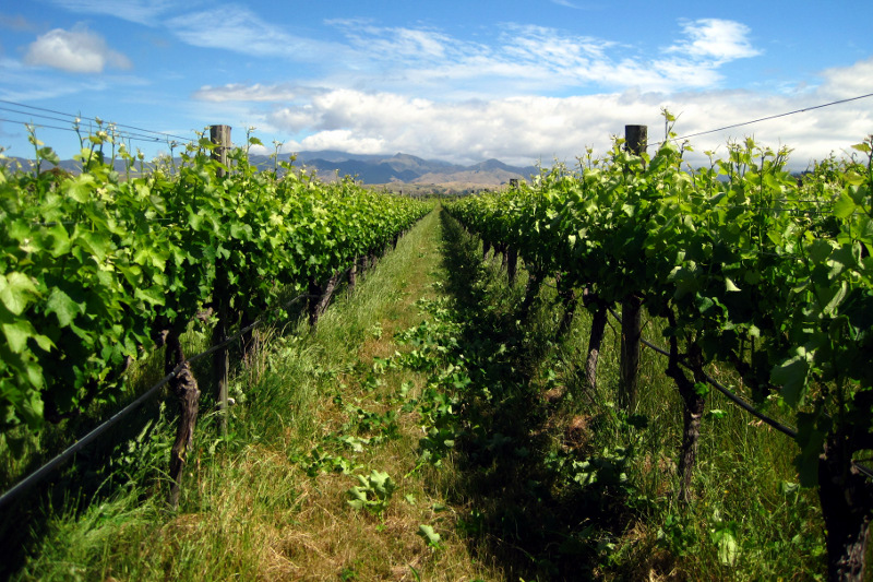 How a row looks after shoot thinning on a vineyard in the Marlborough region of New Zealand