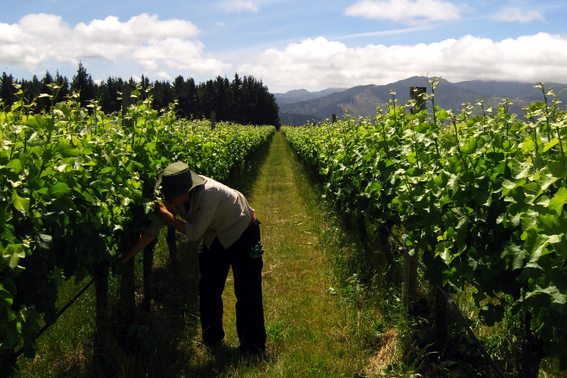 Stephanie shoot thinning as part of our WWOOFing on a vineyard in the Marlborough region of New Zealand