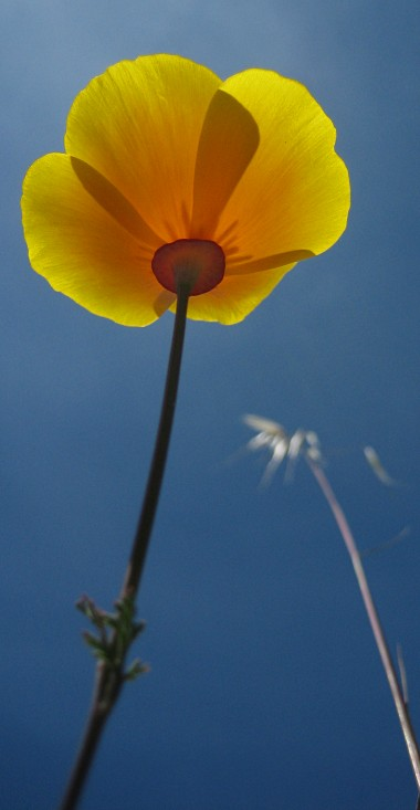 Yellow California poppy upskirt
